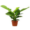 Philodendron_Green