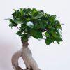 ficus bonsai_750_004