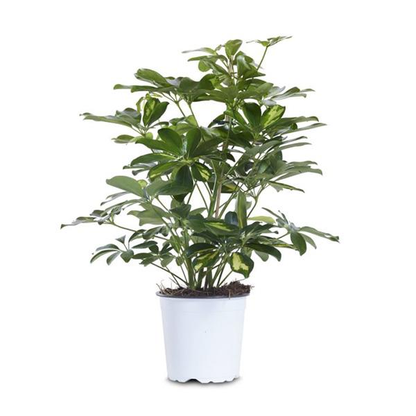 Schefflera floramiata - Pianta schefflera ...